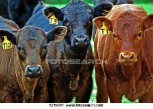 cow-photo1